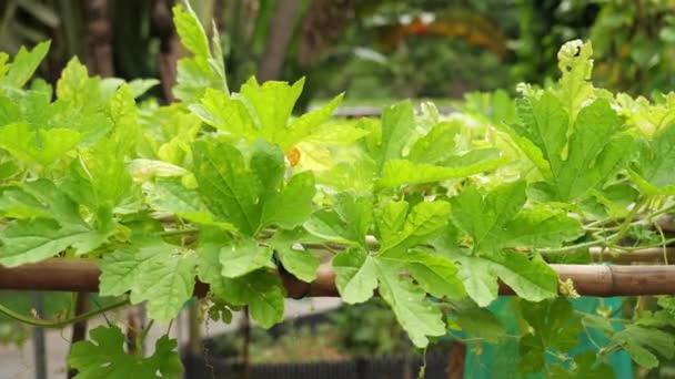 Příroda zelená Nefritová hořkého tykev listy révy v Tchaj-pej Tchaj-wan botanic garden
