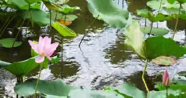 Elegantní Růžový lotos příroda v Tchaj-pej Tchaj-wan botanic garden