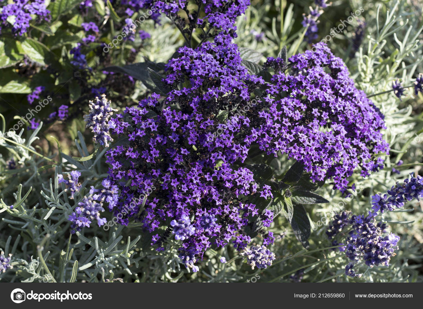 The natural floral background with phlox subulata emerald blue creeping phlox star shaped bright lavender blue flowers groundcover photo by elenarostunova izmirmasajfo