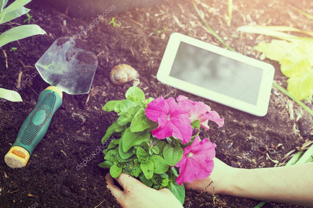 Garden Work With White Business Tablet, Flowers And Gardening Tools At Sunrise