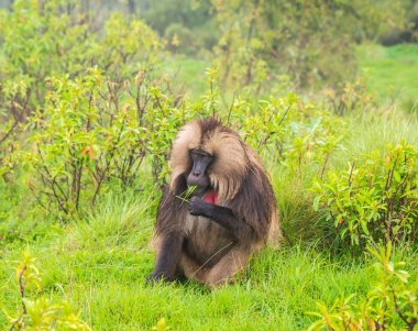 Male Gelada (Theropithecus gelada) monkey in Semien Mountains, Ethiopia