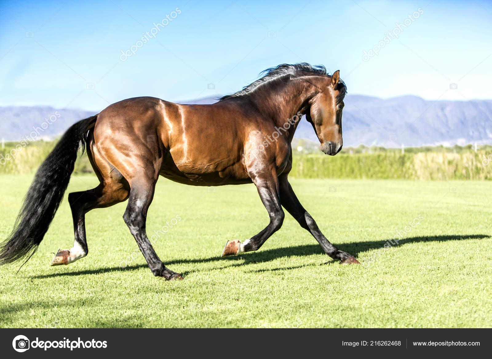 Thoroughbred Wild Horse Running Free Field Stock Photo