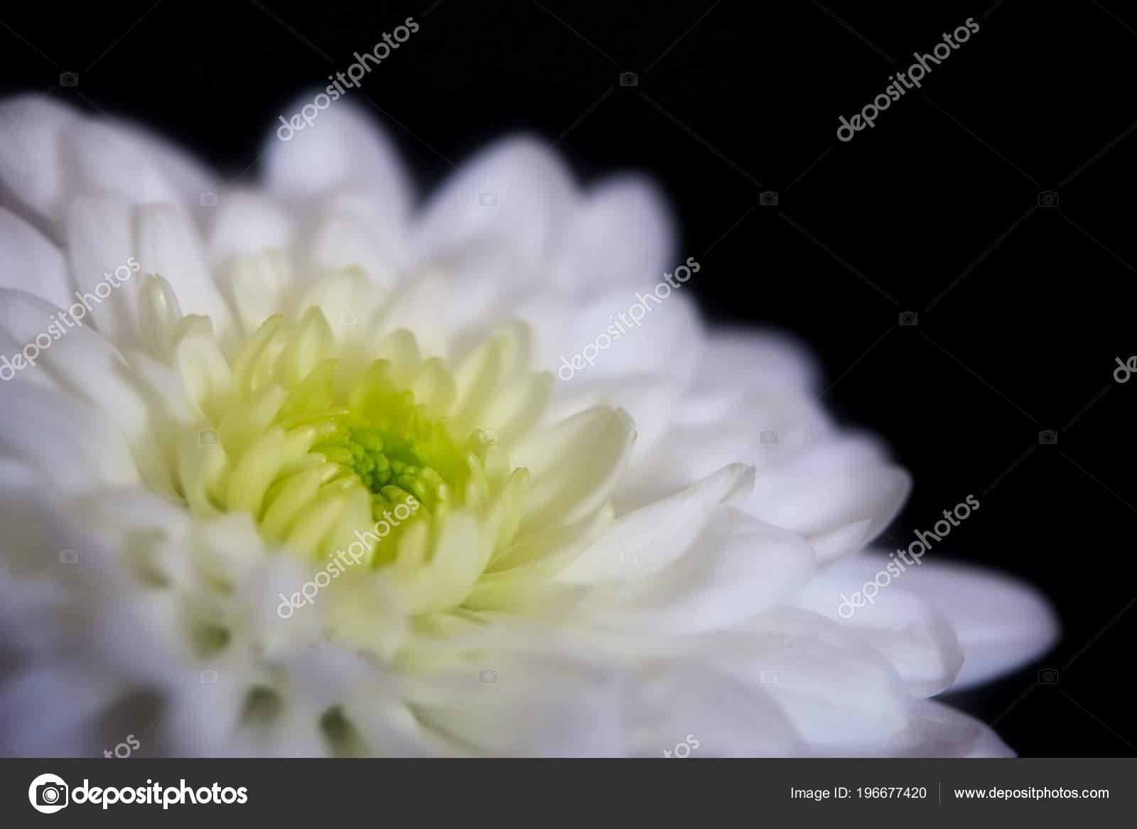 Beautiful White Chrysanthemum Flower Black Background Stock Photo