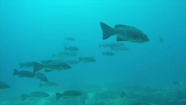 Zackenbarsch (mycteroperca rosacea), eine Gruppe, die sich von den Riffen des Cortez-Meeres, des Pazifischen Ozeans ernährt. cabo pulmo nationalpark, baja california sur, mexiko. cousteau nannte es das Aquarium der Welt.