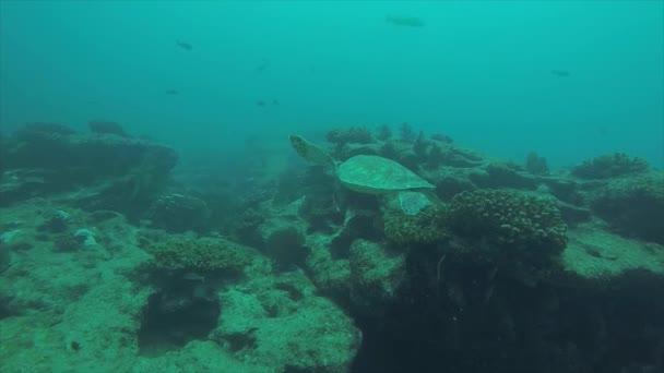 Sea turtle in the reefs of Cabo Pulmo National Park,  The worlds aquarium. Baja California Sur,Mexico.