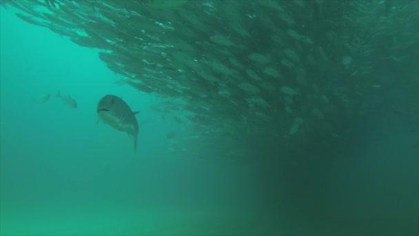 Nagy szem Trevally Jack, (Caranx sexfasciatus) alkotó polarizált iskola, csali labdát vagy tornádó. Cabo Pulmo Nemzeti Park, akvárium a világon. Baja California Sur, Mexikó.