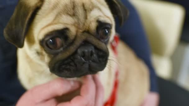 pes sedí na ruce majitele ve frontě a vyšetření na veterinární klinice