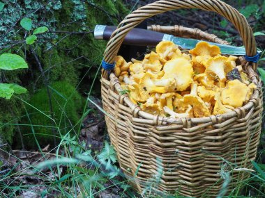 basket with mushrooms chanterelles and a knife in the forest. quiet hunting, hobby