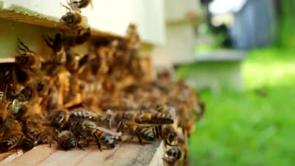 Swarm of honey bees carrying pollen and flying to the landing board of hive in an apiary in 4K VIDEO. Organic BIO farming, animal rights, back to nature concept. Close-up.
