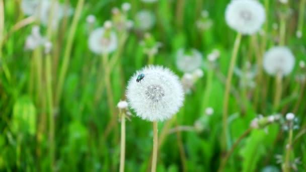 Ülni egy pitypangvirágon a szabadban egy napsütéses napon. Rovar Makró közelkép légy.