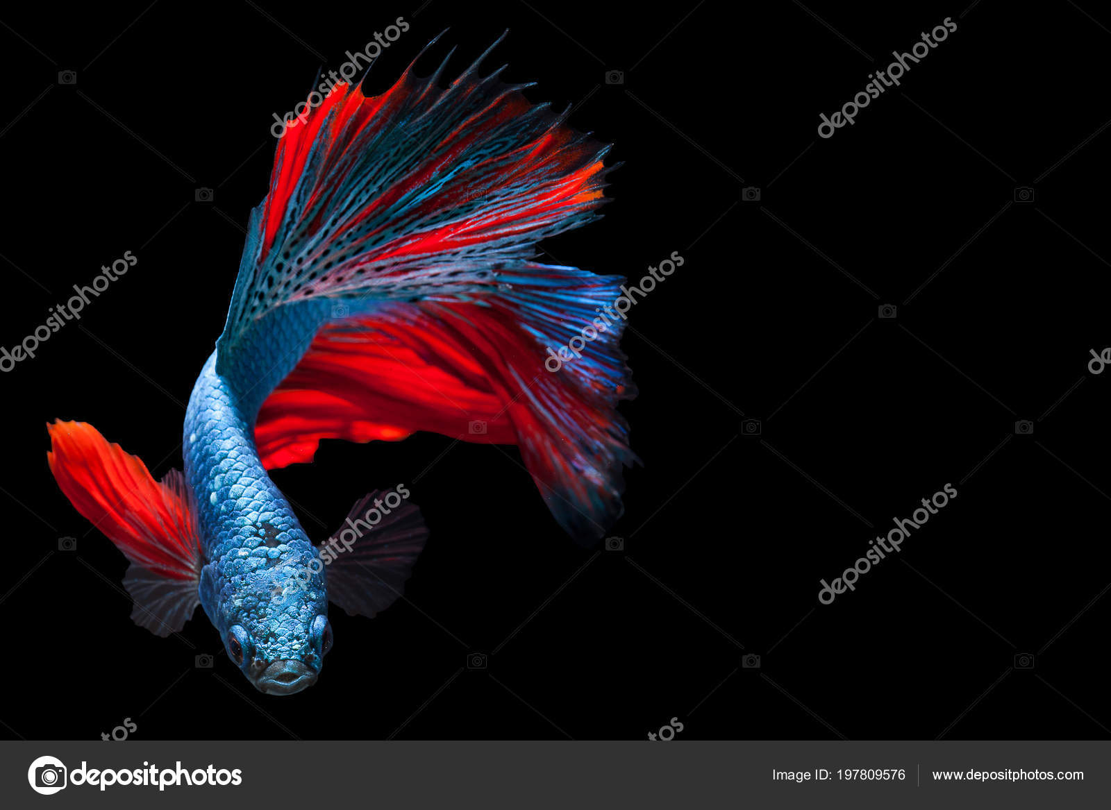 Videos Of Betta Fish Fighting - Images Lobster and Fish