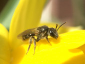Photo Bee on a yellow Narcissus in The Netherlands
