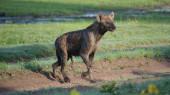 Gefleckte Hyäne läuft umher