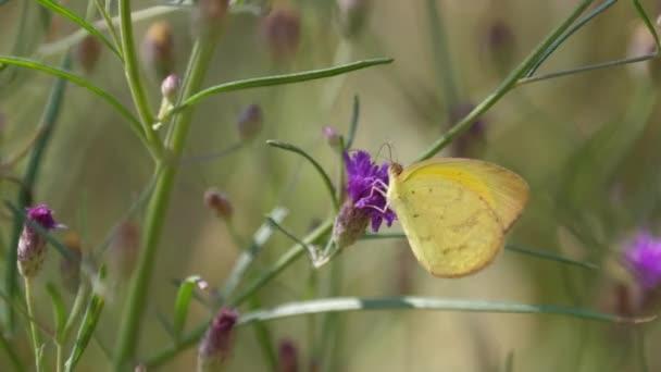 Pillangó egy lila lóherén Waterbergben Dél-Afrikában