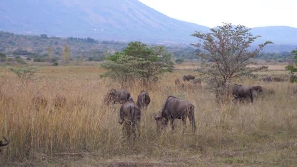 Herd of wildebeests at the savanna of Waterberg South Africa
