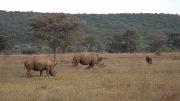 Dva bílí nosorožci jedí trávu ve Waterberg Jižní Africe