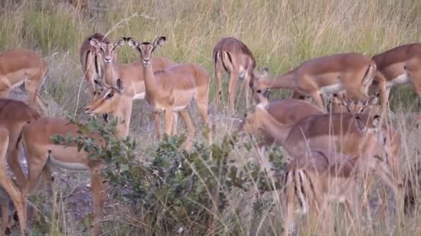 Női impalák csordája Waterbergben Dél-Afrikában