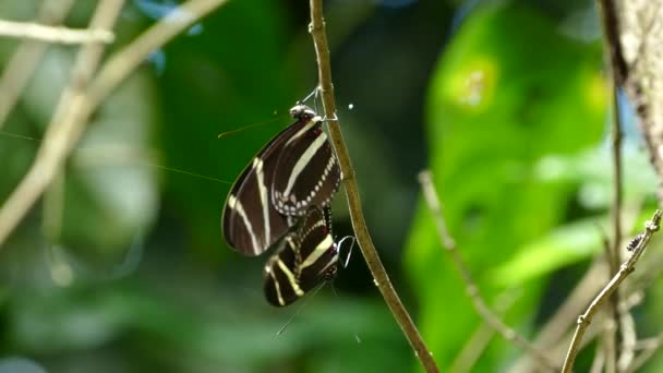 Mating butterflies in the forest of the Mombacho Volcano Nature Reserve