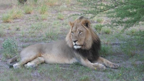 Férfi oroszlán pihen egy fa alatt Közép-Kalahári vadrezervátumban, Botswanában.