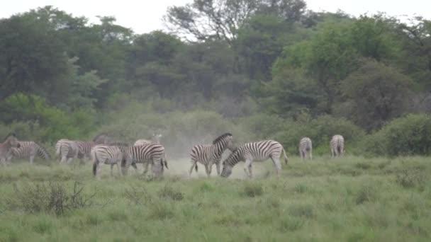 Zebrák játszanak a Khama Rhino Menedékben Botswanában