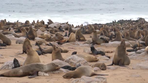 Kolonie lachtanů na pobřeží tulení rezervace Cape Cross v Namibii