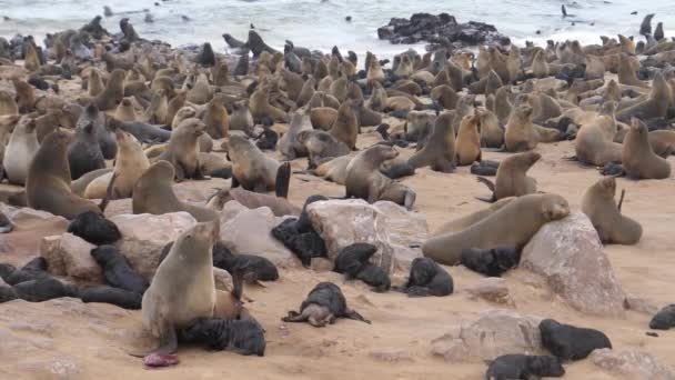 Sea lion colony with pups on the beach of Cape Cross Seal Reserve in Namibia