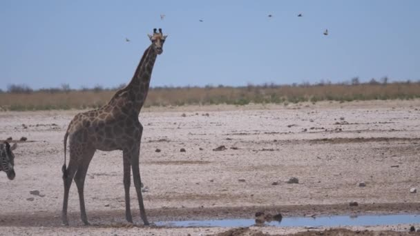 Zsiráflevelek és két zebrák érkezik egy víznyelő egy száraz szavanna Etosha Nemzeti Park, Namíbia