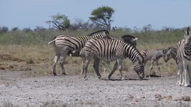 Zebracsorda a kicsinyeikkel egy száraz szavannán.