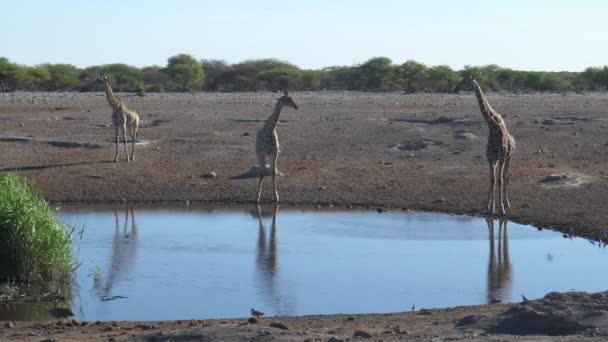 Tři žirafy kolem vodní díry
