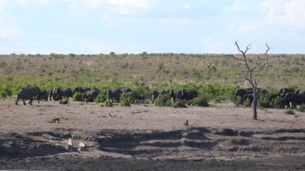 Magányos elefánt elhalad egy nagy afrikai bozót elefántcsorda mellett, amely a namíbiai Khaudum Nemzeti Parkban sétál.