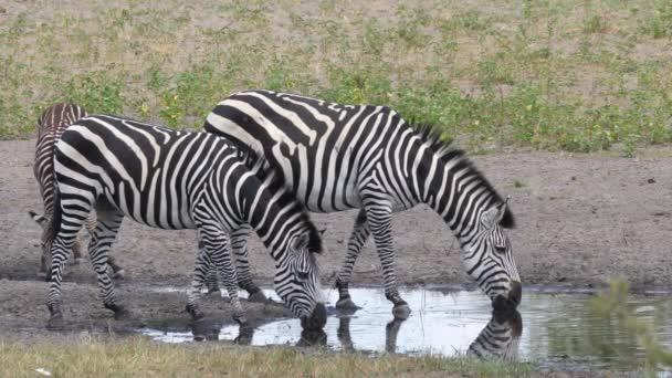 A namíbiai Khaudum Nemzeti Park víznyelőjéből ivó zebrák