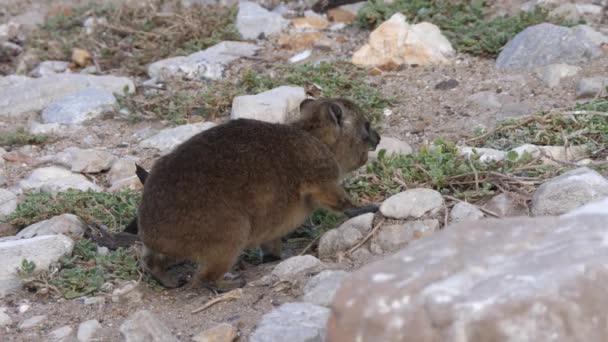Rock hyrax eats from plants in South Africa