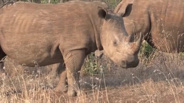 Nashorn-Herde weidet in der Savanne
