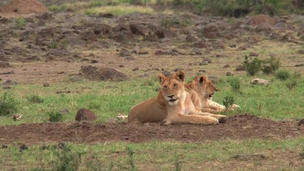 A szavannán nyugvó oroszlánok büszkesége