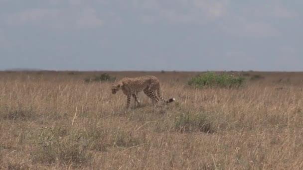 Gepard kráčí po savaně