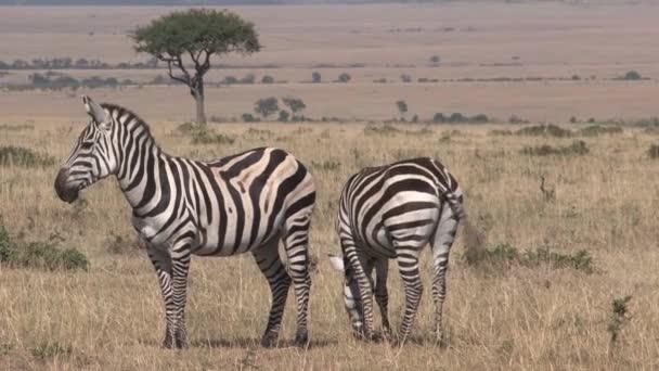 Zebrák párja sétál a szavannán
