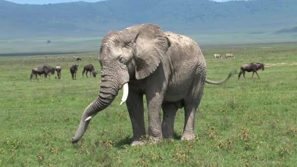Régi afrikai elefánt legeltetés a legelőn