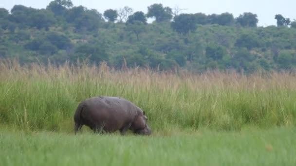 Flusspferde weiden im Moremi Game Reserve, Botswana