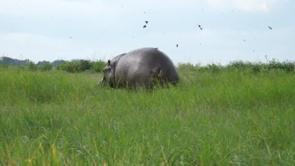 Nilpferd versprüht Poop auf Grasfeld im Moremi Game Reserve, Botswana