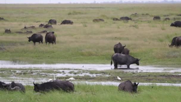 Herd of African buffalos grazing on the wetlands of Moremi Game Reserve, Botswana