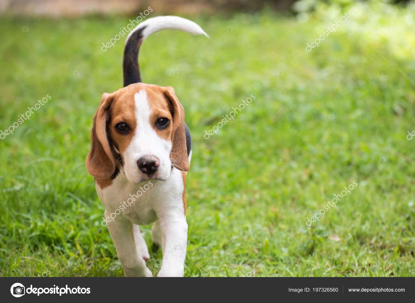 Cute Beagle Dog Running Grass Stock Photo C Woraphon N Gmail Com