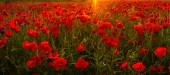 scenic view of red poppies at sunrise