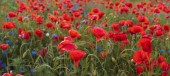Composition of red poppies, herbs and wildflowers