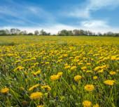 Jarní louka, kvetoucí Pampeliška