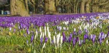 """Картина, постер, плакат, фотообои """"Крокусы цветут весной в городском парке"""", артикул 250652586"""