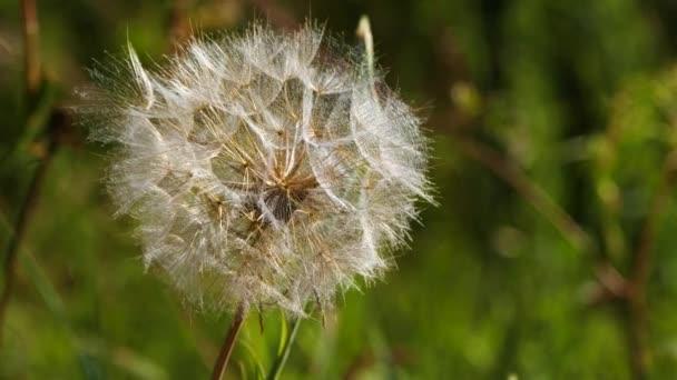 Gyermekláncfű himbálózik a szélben, lassított felvételeket készít. Pitypang fúj a réten. Nyári rét napsütéses napokon. Törékeny virág magvakkal.