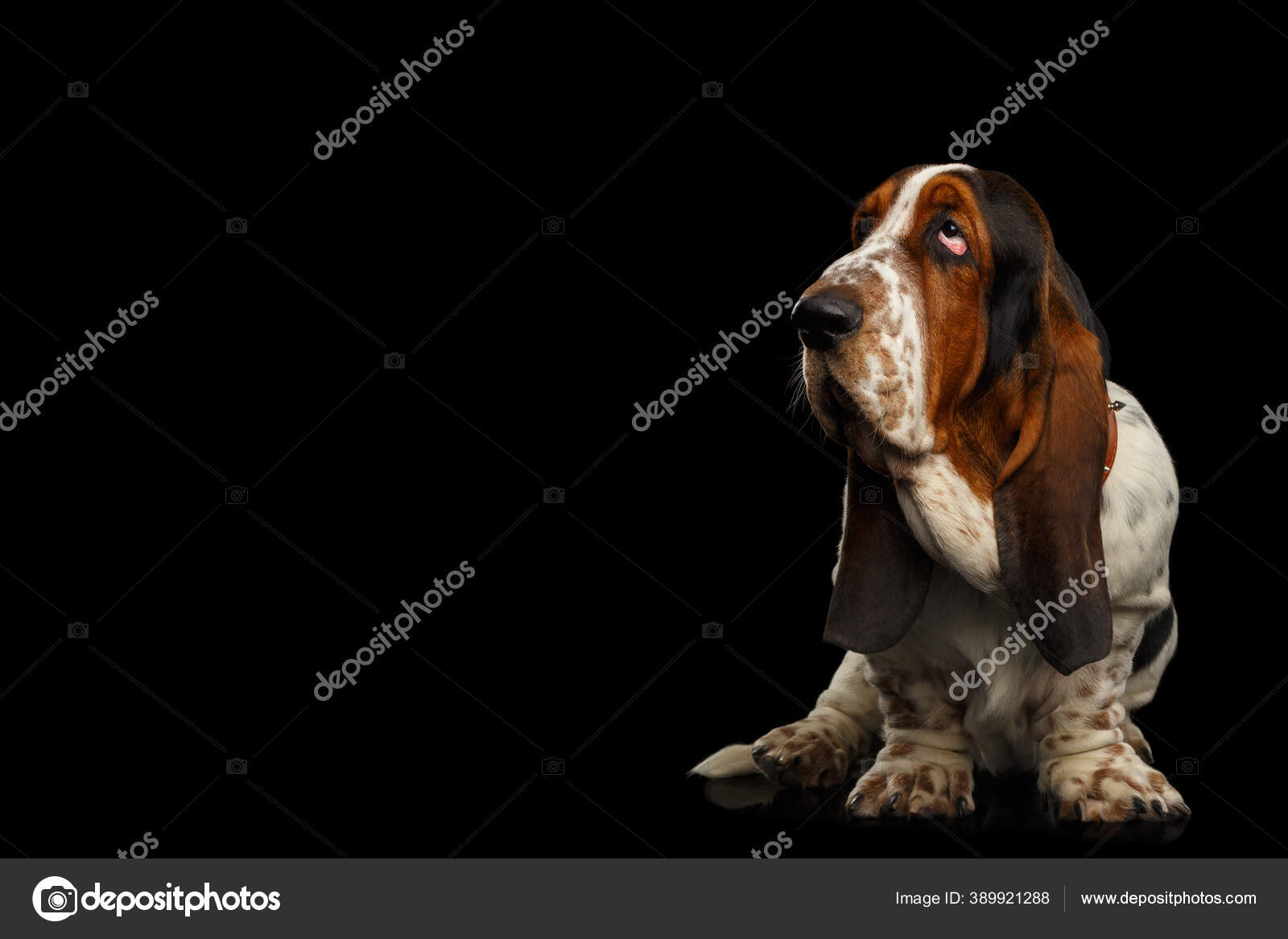 Funny Basset Hound Dog Standing Looks Apathy Isolated Black Background Stock Photo C Seregraf 389921288