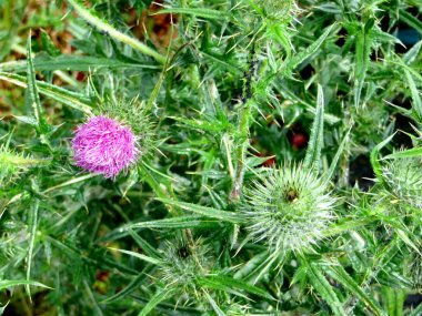 green spiky branches and lilac flowers of the thistle on a blury background. High quality photo
