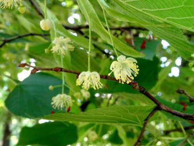 flowering lime tree, linden tree on a bright sunny day in early summer on a blury green background. High quality photo