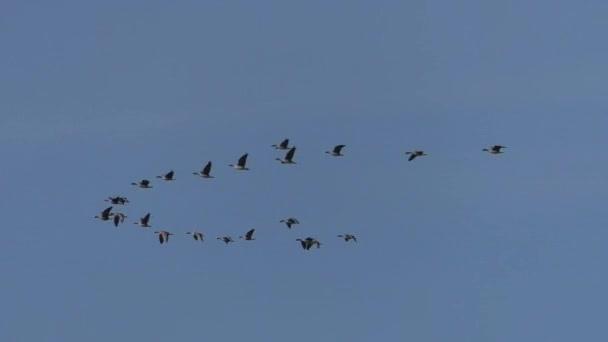 Hejno divokých šedých Hus v migraci letů. Létající ptáci na modrém nebi.